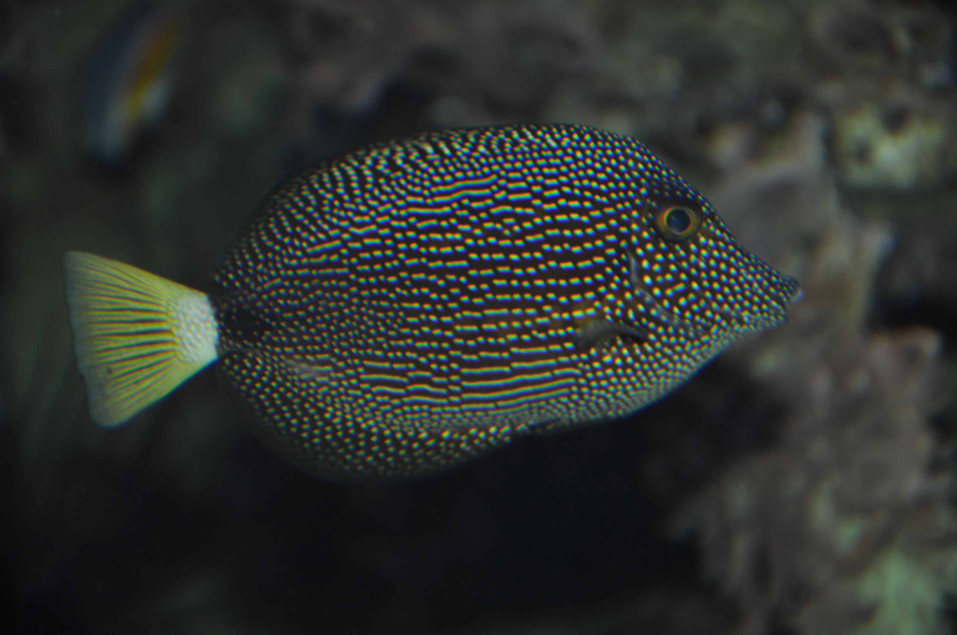 Zebrasoma gemmatum