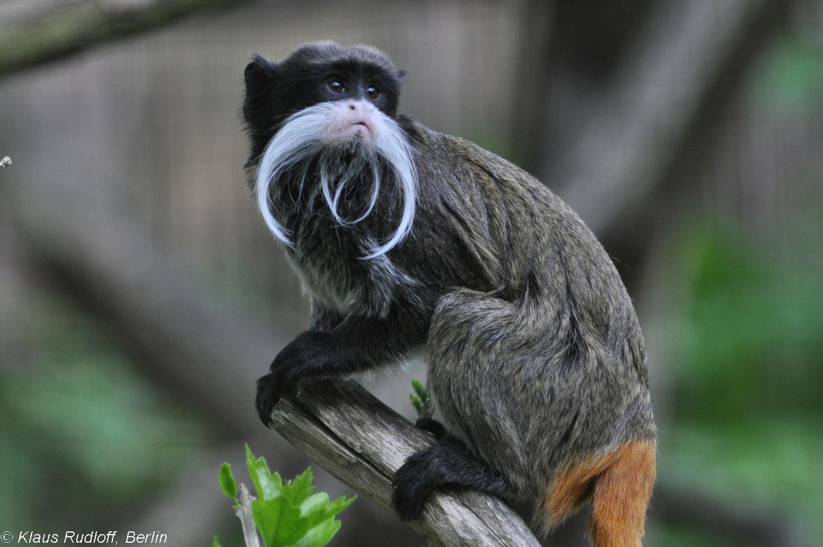 Bearded Monkey Name: Saguinus Imperator Subgrisescens (Bearded Emperor