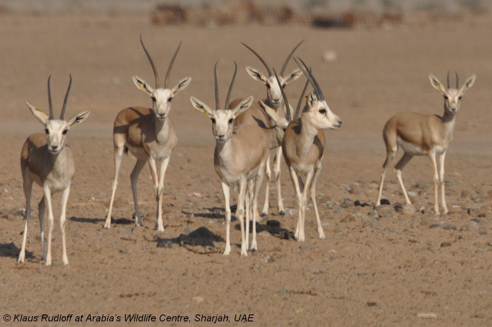 Животные фото джейран куралай 4