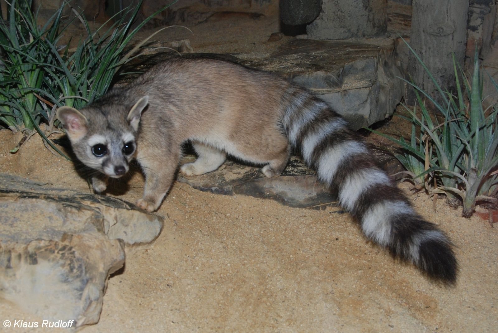 Show Me A Ring Tailed Cat