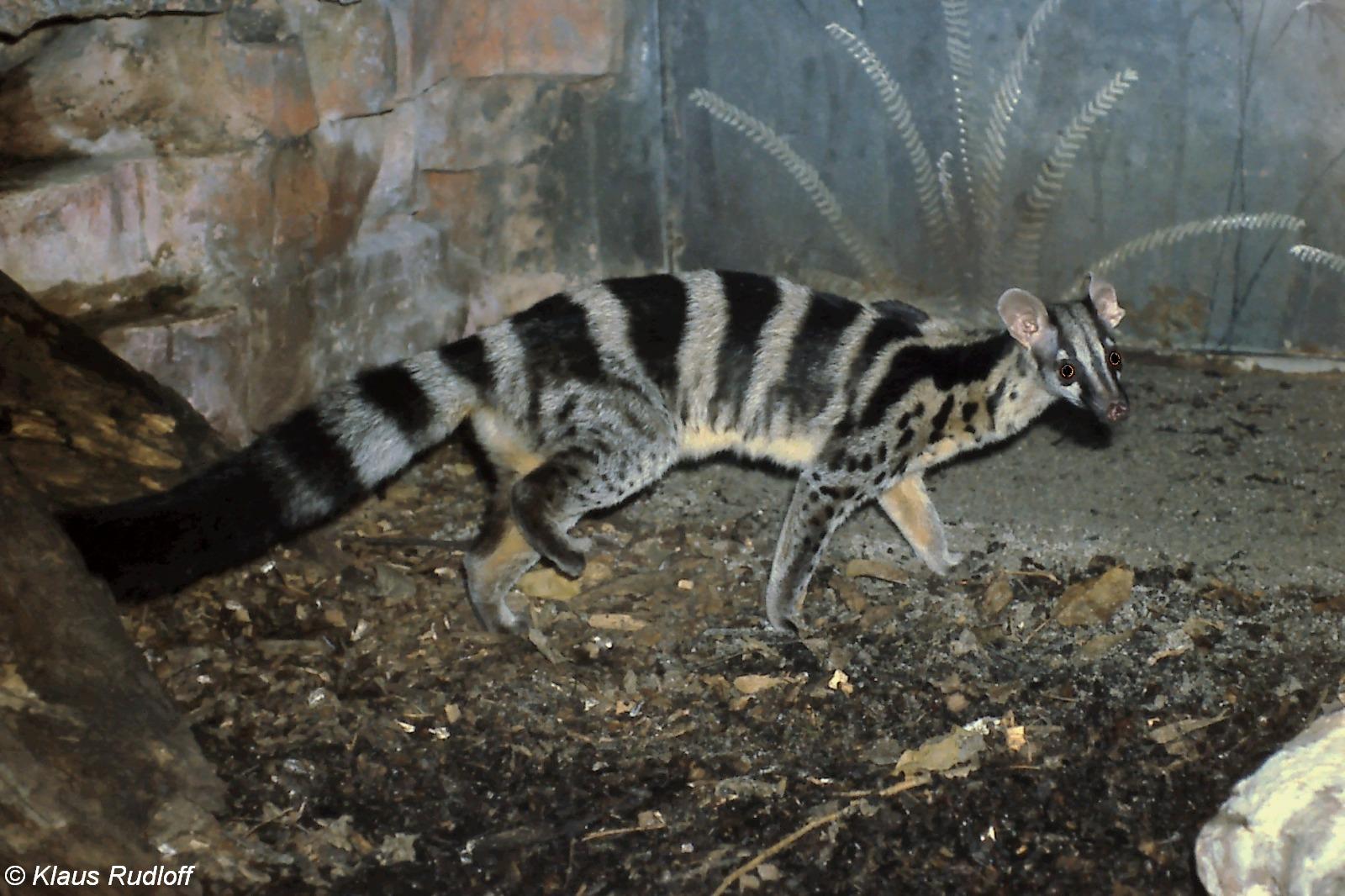 Owston's civet (Chrotogale owstoni)   BioLib