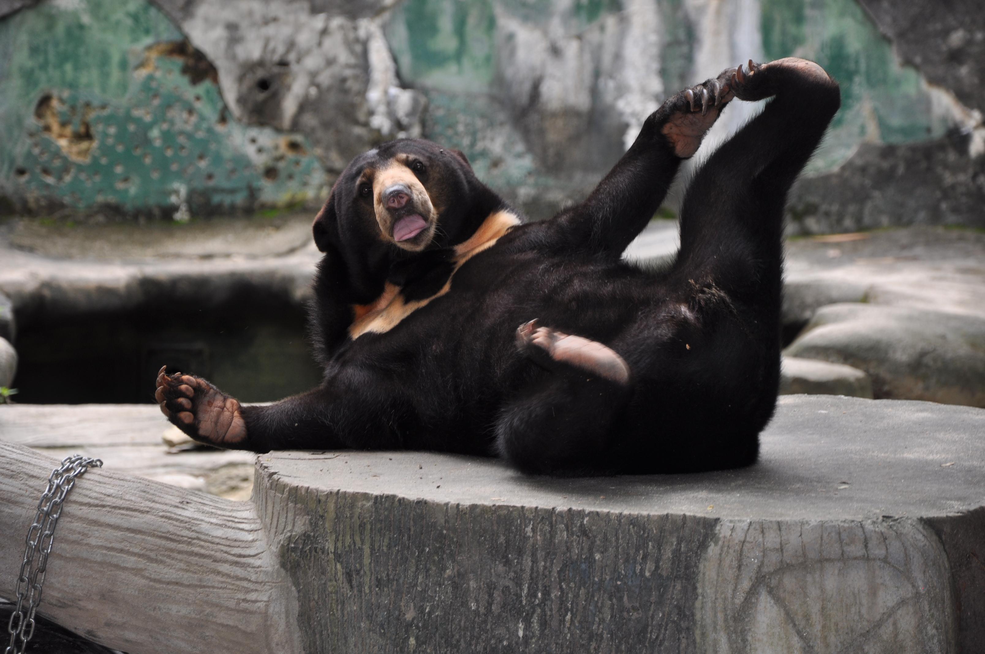 Baby Malayan Sun Bear - 2030.3KB