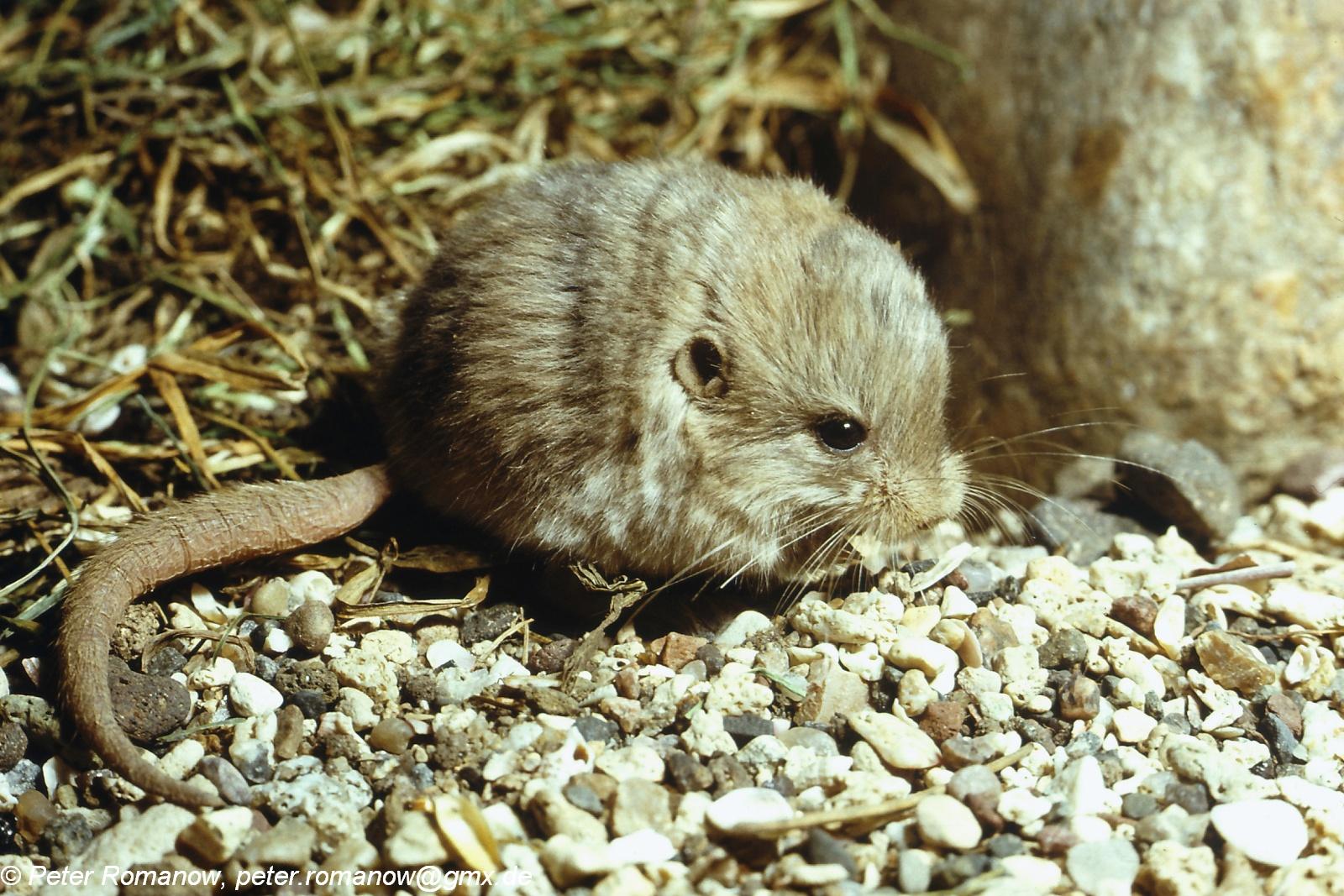 Image - Cardiocranius paradoxus (Five-toed Pygmy Jerboa ... - photo#10