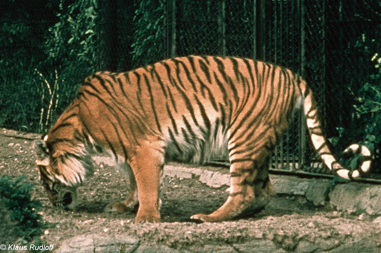 Image - Panthera tigris virgata (Caspian Tiger) | BioLib.cz