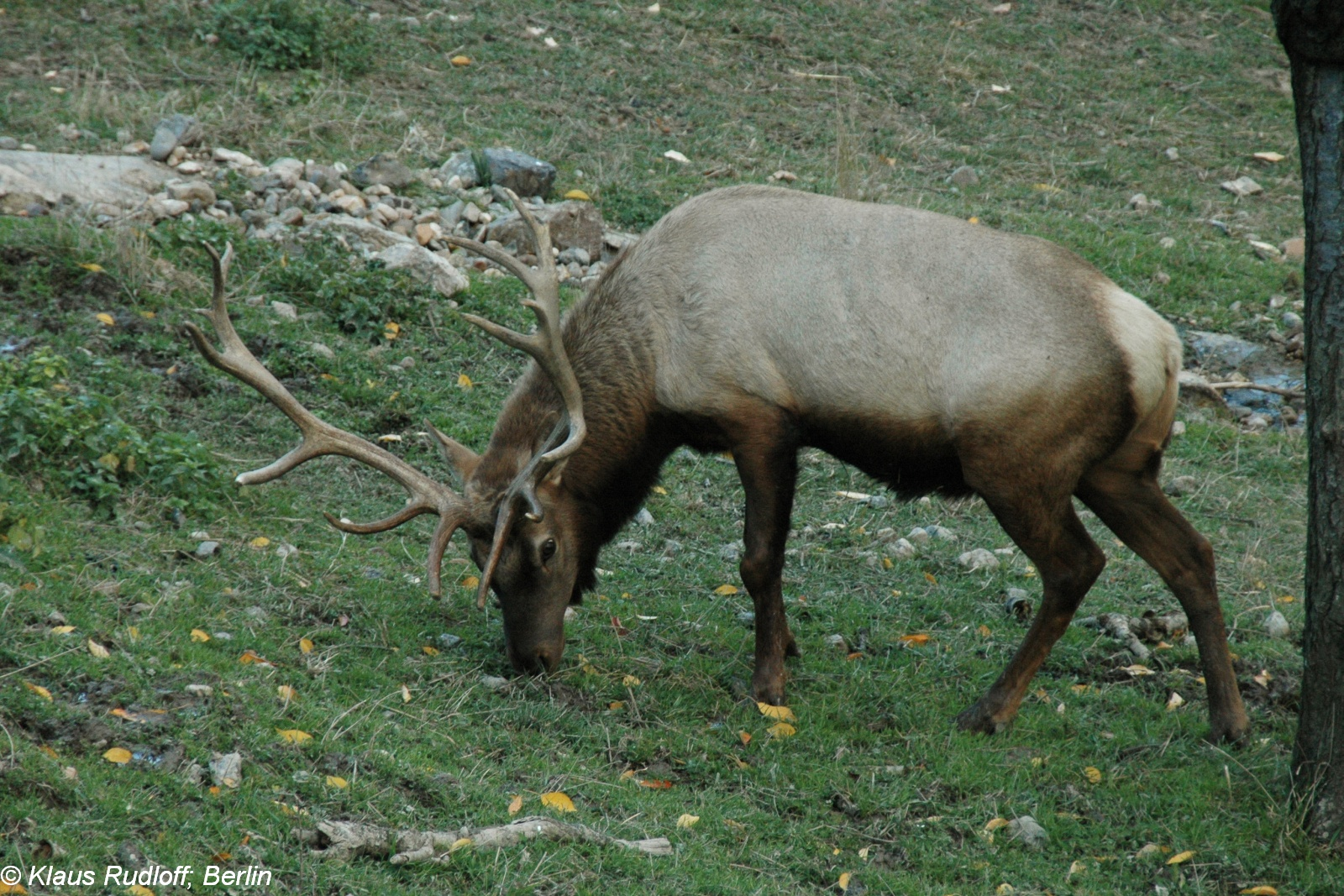 Merriam's Elk