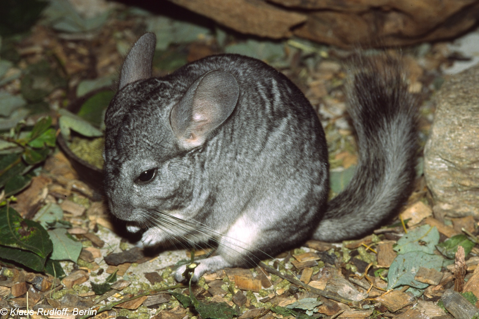 Image - Chinchilla lanigera (Long-tailed Chinchilla ...