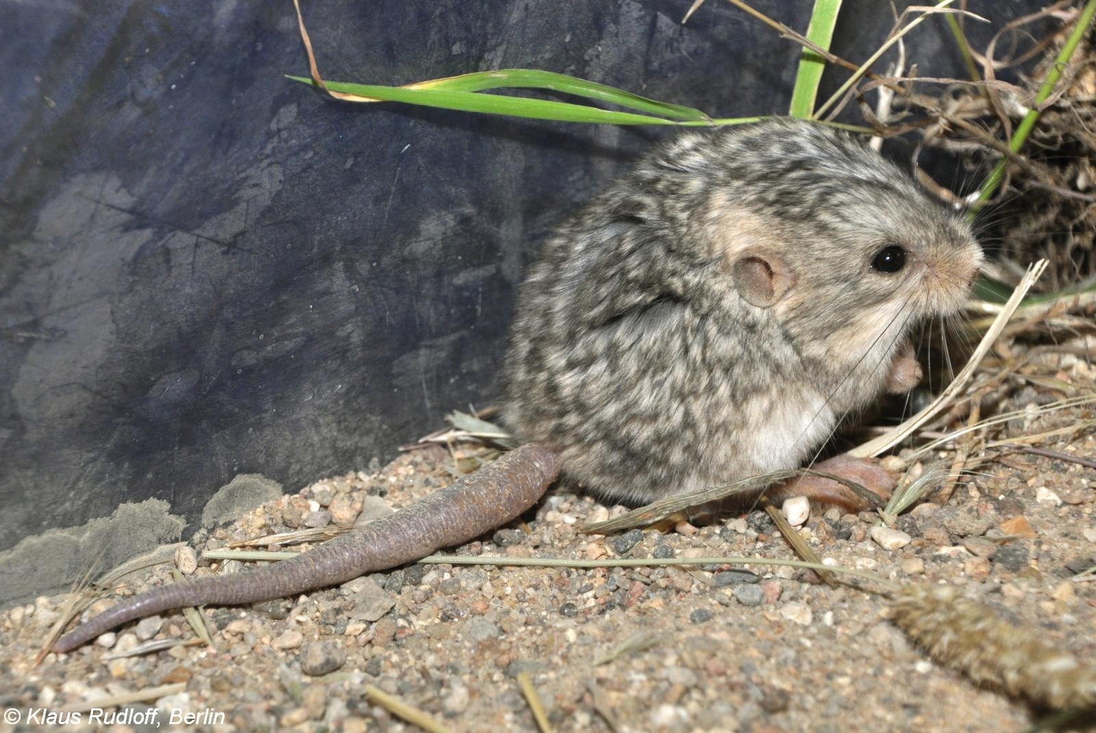 Image - Cardiocranius paradoxus (Five-toed Pygmy Jerboa ... - photo#2