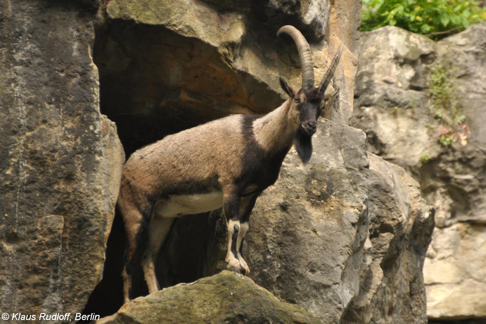 cretan wild goat