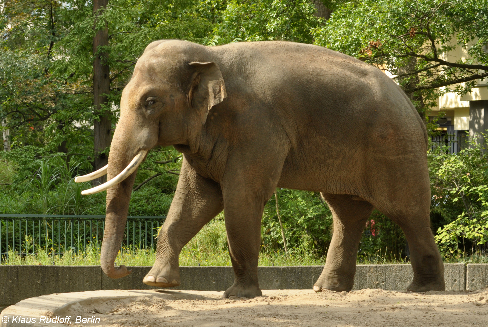 Scientific name for asian elephant