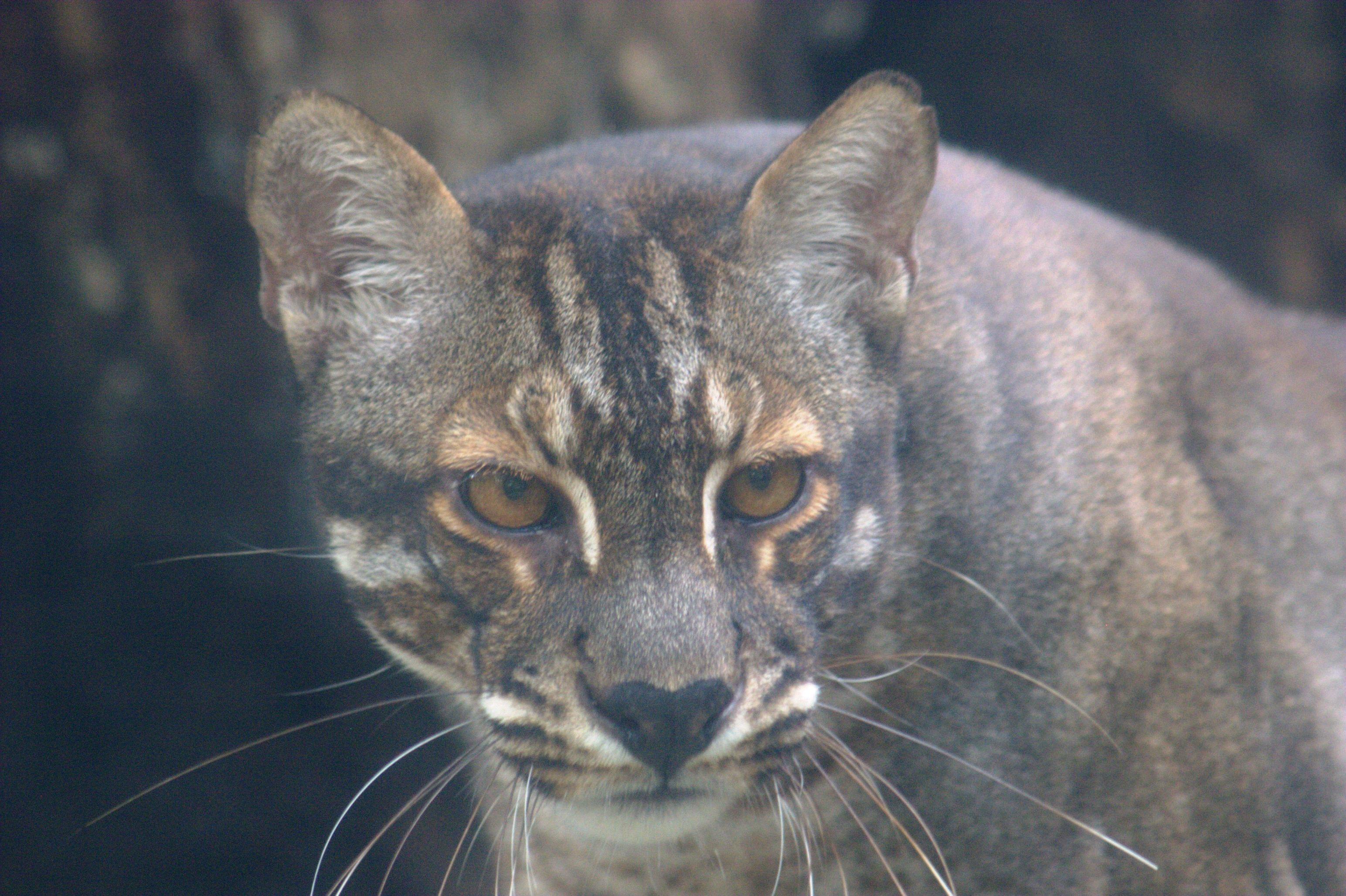 Image Pardofelis Temminckii Temminckii Southeast Asian Golden Cat Biolib Cz