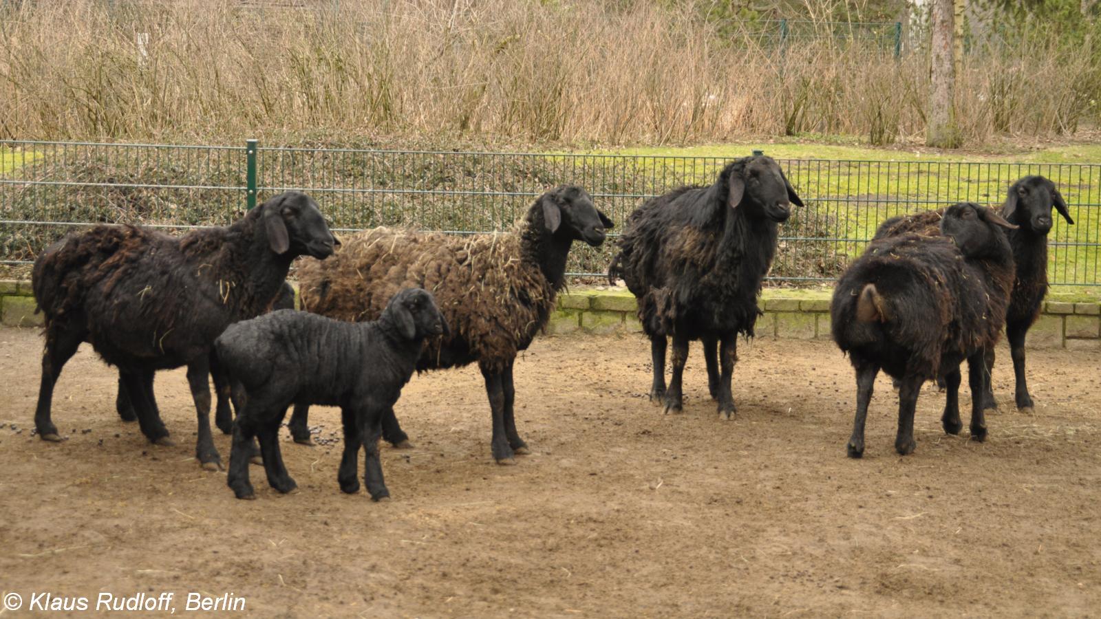 Hissar breed of sheep. Hissar breed: description, productivity, breeding 28