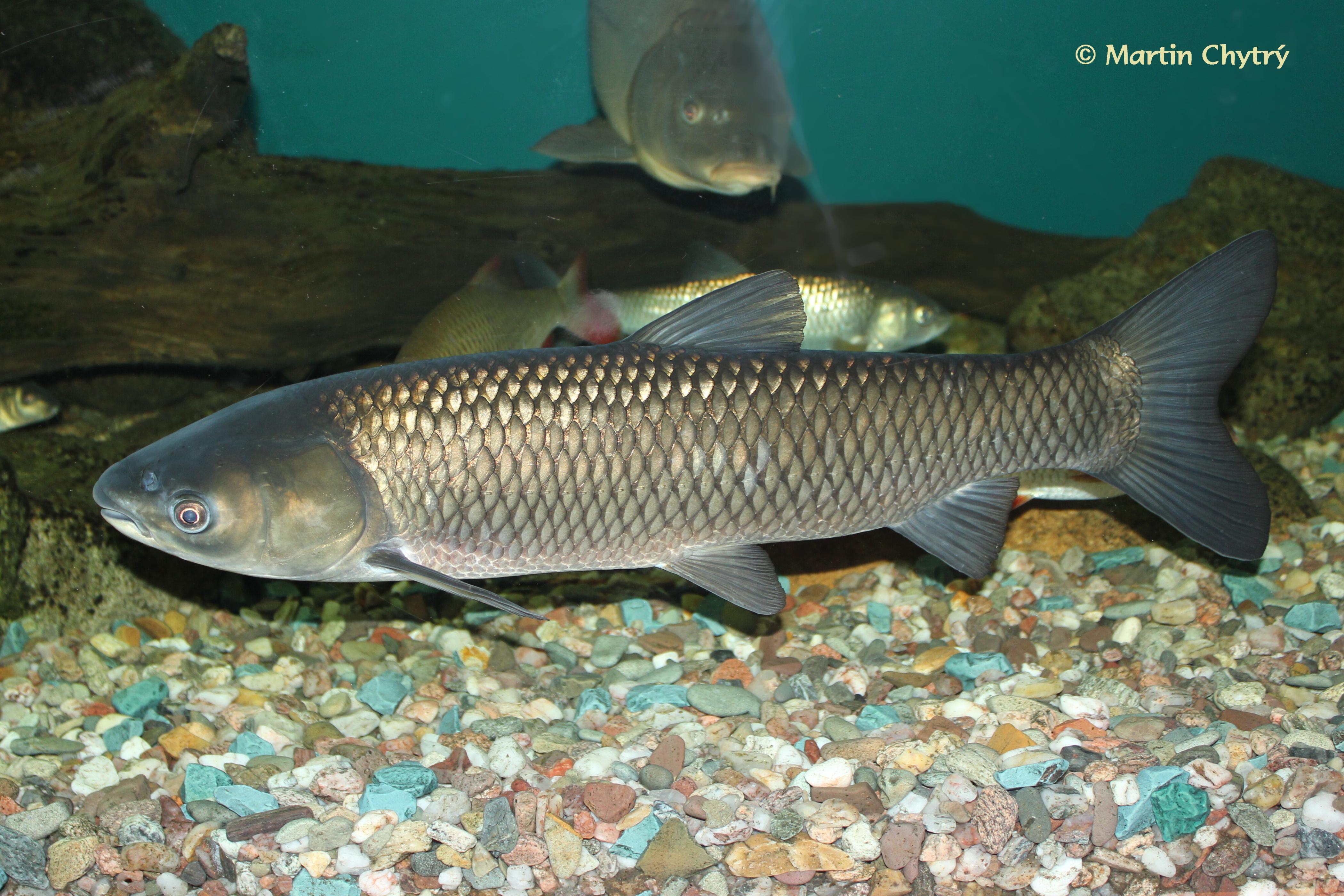 Fauna exótica en Argentina- Peces (3ra parte)