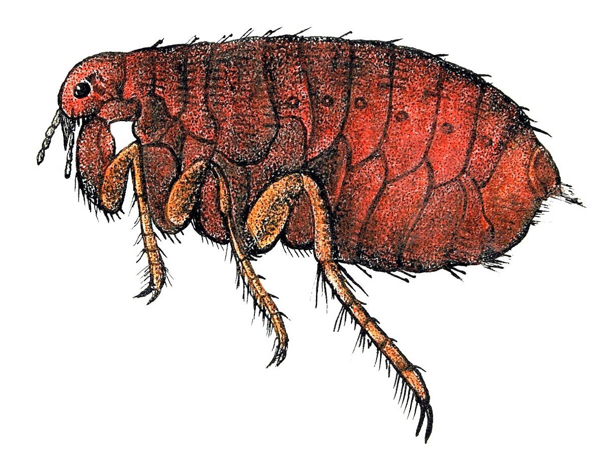 Flea Bites on Humans Pictures, Treatment Prevention Fleas on humans pictures