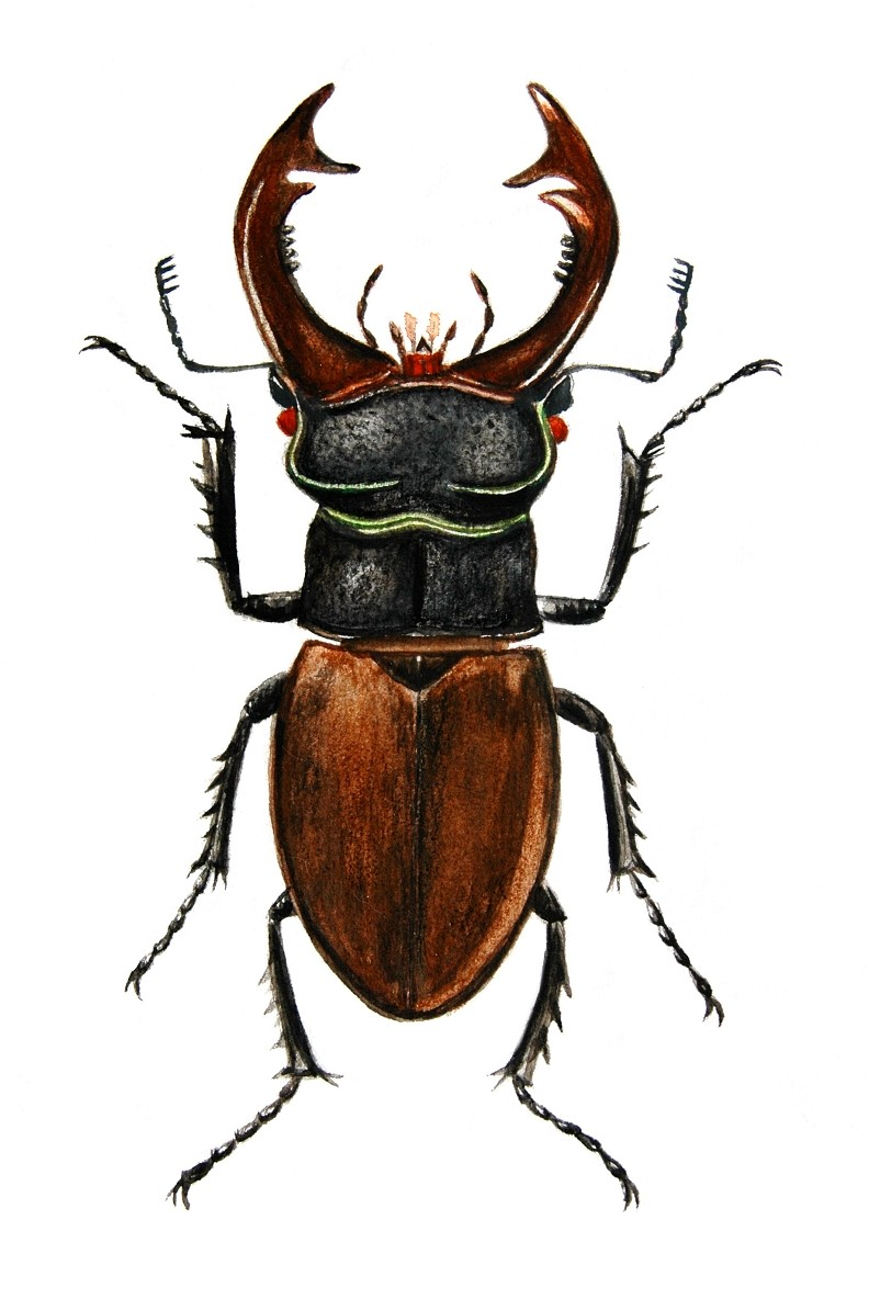 Image Lucanus Cervus Stag Beetle Biolib Cz