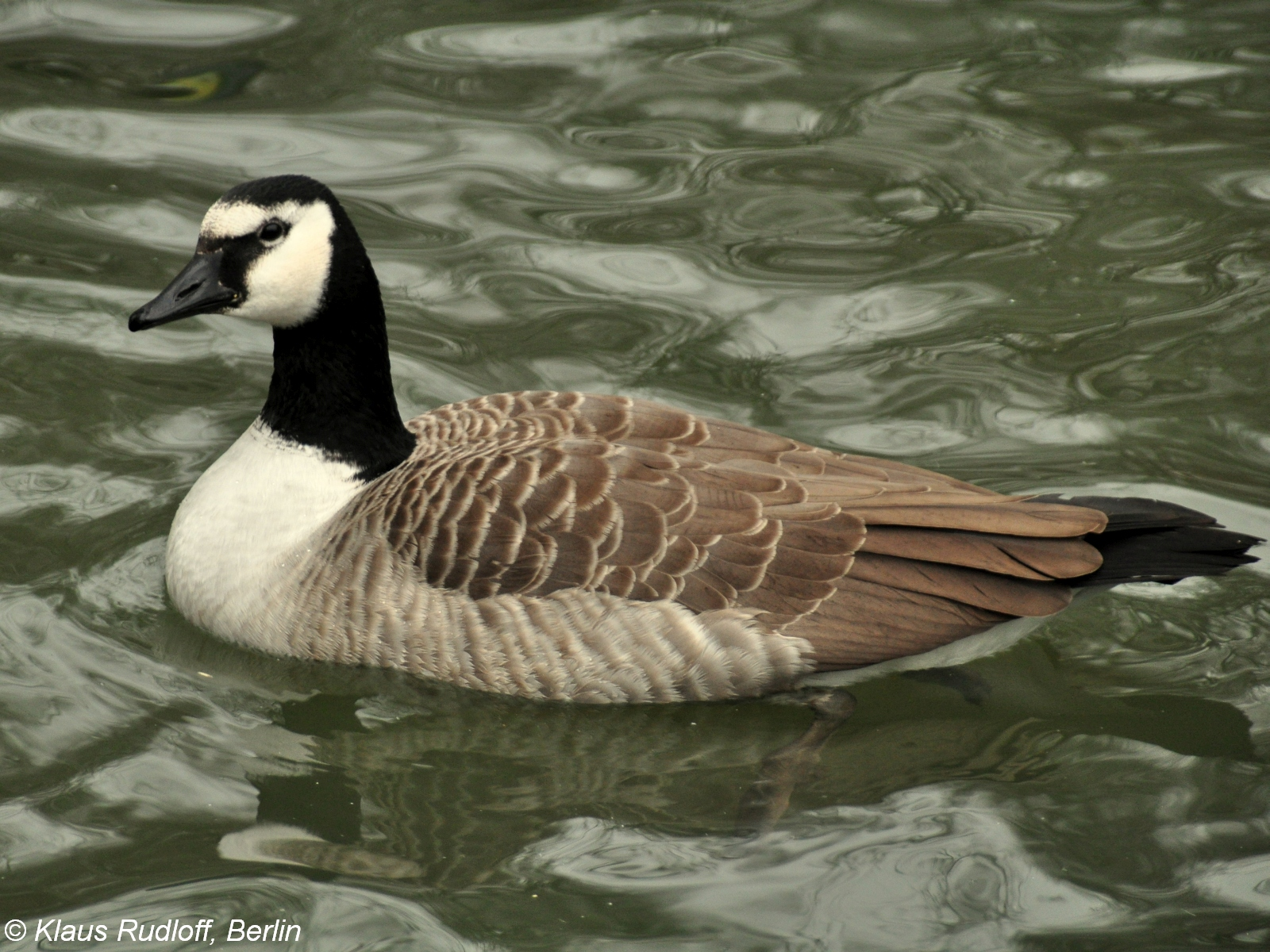giant canada goose branta canadensis maxima