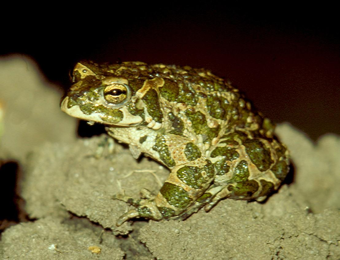 домашнего зеленая жаба фото и описание немоляева призналась, что
