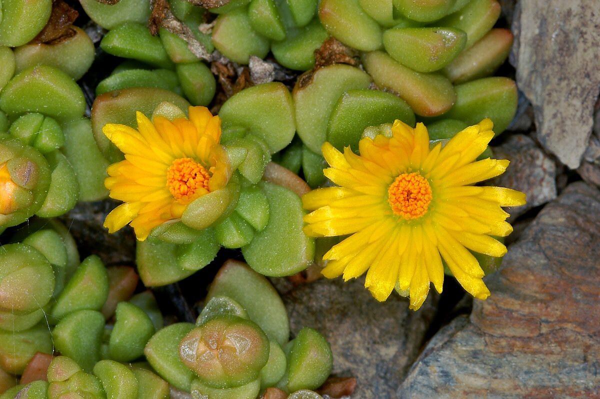 Picture of Live Ice Plant (yellow) aka Delosperma nubigena Plant Fit 1 Gallon Pot