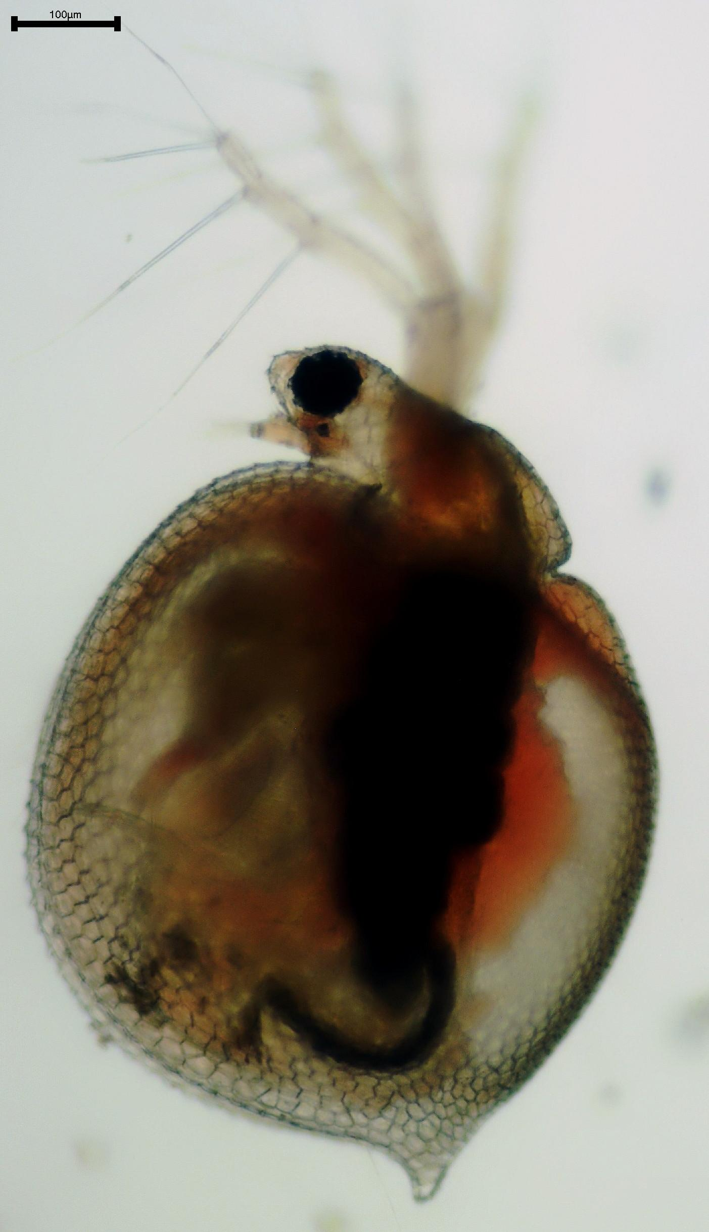 a study on ceriodaphnia Case study: compendia strategy for a new oncology product how xcenda developed a compendia strategy for a client new to the oncology market.