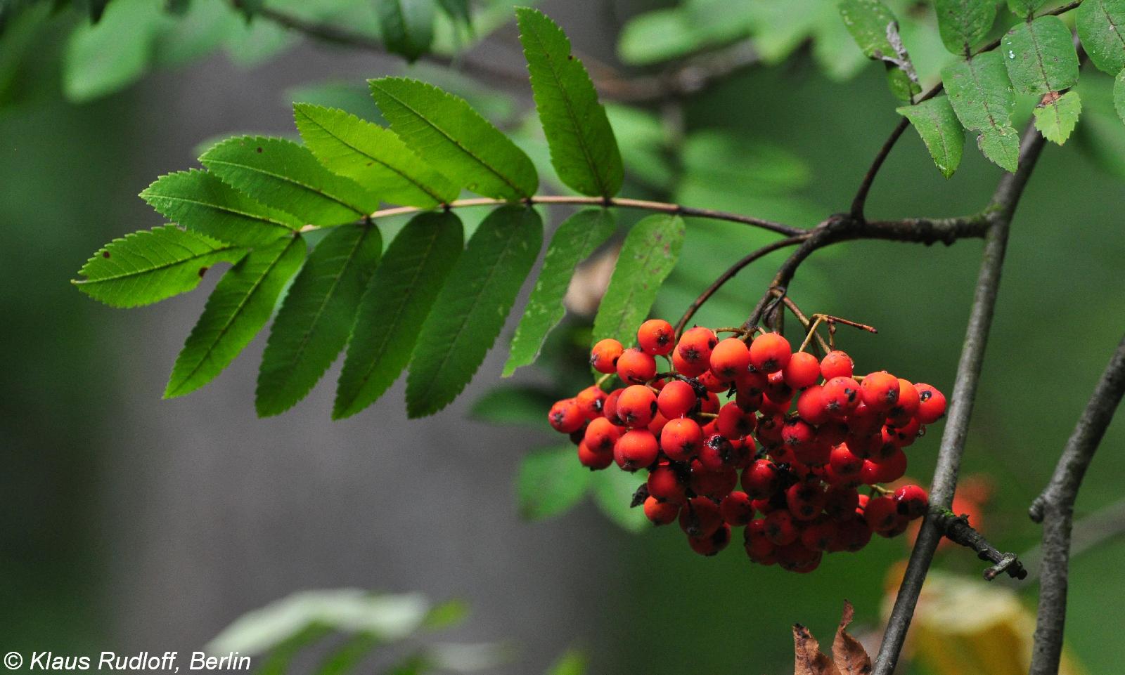 селигер картинка дерева рябины и ее плодов для