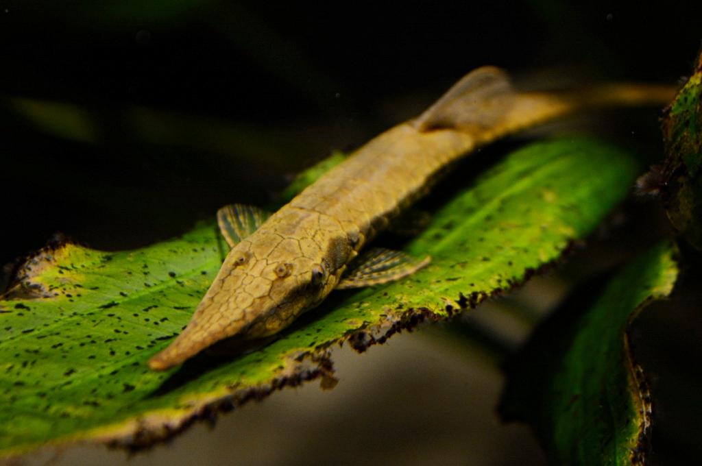 Image Farlowella Hahni Twig Catfish Biolib Cz