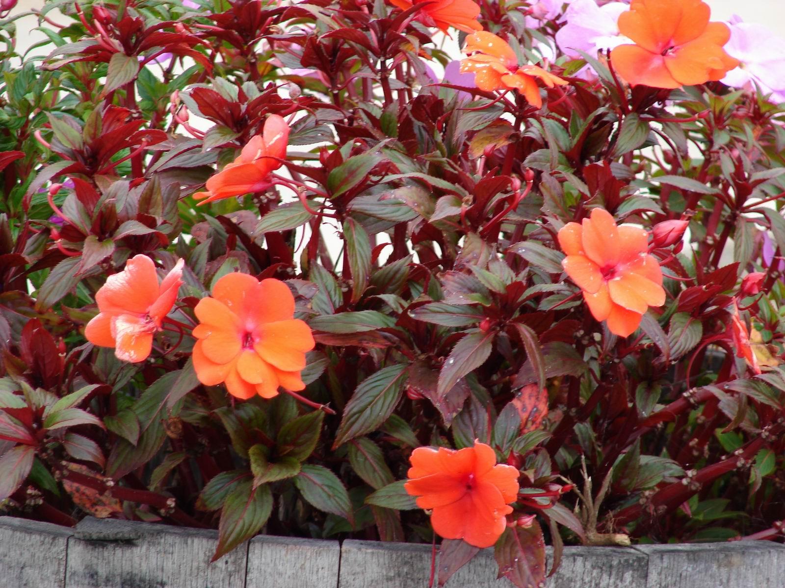 Бальзамин новогвинейский уход, фото Любимые цветы 64