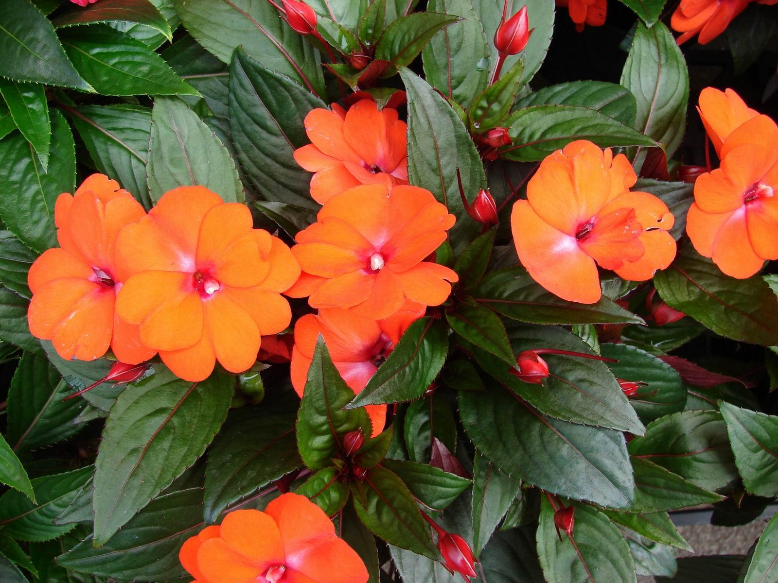 Комнатные и садовые цветы фото и название