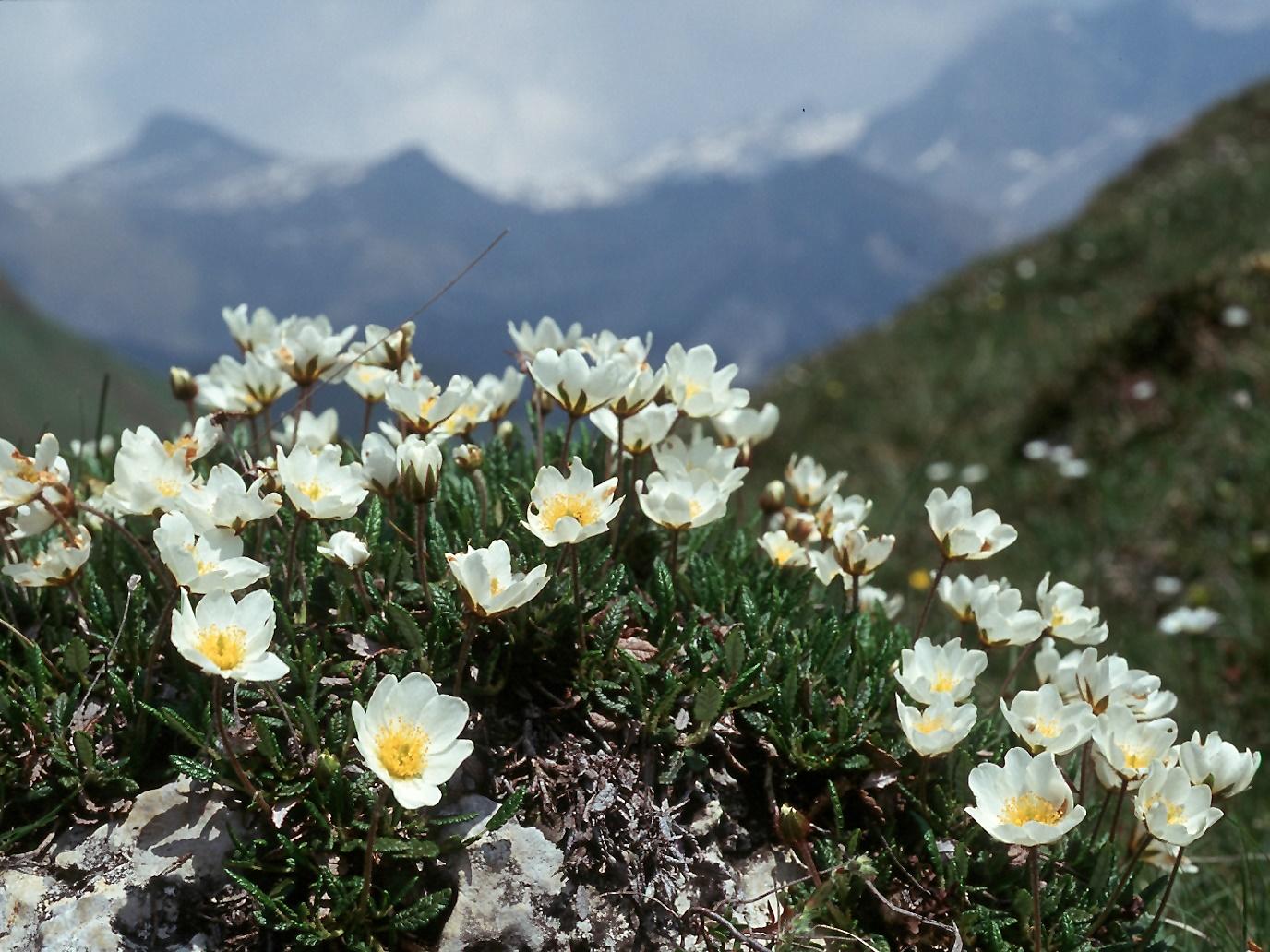 Image - Dryas octopetala (Mountain Avens)   BioLib.cz