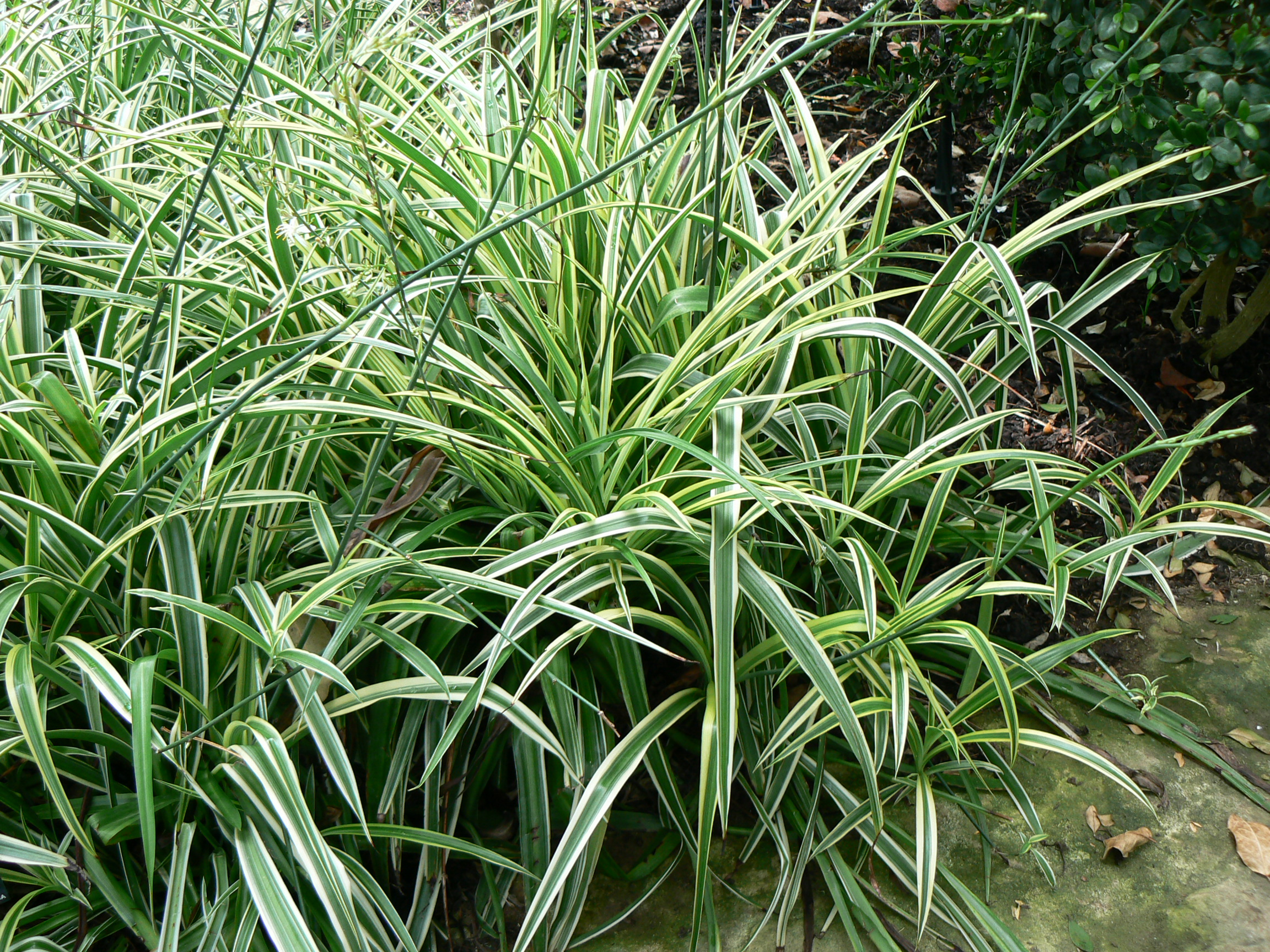 Image chlorophytum capense bracketplant for Is spider plant poisonous to dogs