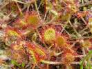 Drosera rotundifolia - Round-leaved Sundew
