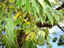 Juglans microcarpa - Little Walnut