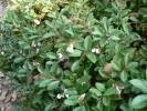 Gaultheria pyroloides - Miquel's Spicywintergreen