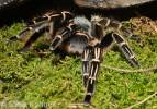 Aphonopelma seemanni - Costa Rican Zebra Striped Knee Tarantula