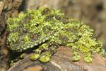 Theloderma corticale - Mossy frog