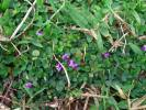 Desmodium triflorum - Threeflower Ticktrefoil