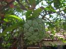 Annona squamosa - Sugar Apple