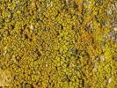 Caloplaca citrina - Orange Lichen