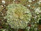 Physconia enteroxantha - Frosted Lichen
