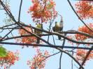 Treron phoenicopterus - Yellow-footed Green-pigeon