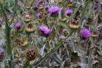 Onopordum acanthium - Cotton Thistle