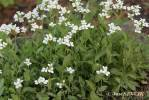 Arabis alpina - Alpine Rock-cress