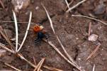 Eresus kollari - Lady Bird Spider