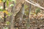 Macropus agilis - Agile Wallaby