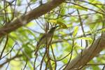 Lichenostomus unicolor - White-gaped Honeyeater