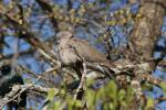 Streptopelia decipiens - Mourning Collared-dove