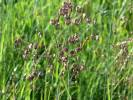 Briza media - Quaking-grass