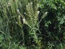 Lepidium campestre - Cream-anther Field Pepperwort