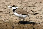 Charadrius dubius - Little Ringed Plover