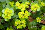 Chrysosplenium alternifolium - Alternate-leaved Golden-saxifrage