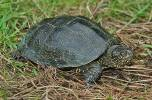 Emys orbicularis orbicularis - European Pond Turtle