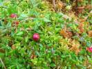 Oxycoccus palustris - Small Cranberry